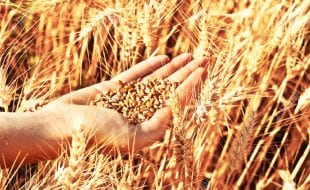 Hand full of wheat seeds, wheat ears background